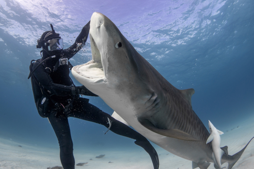 Jamin Martinelli pushes the tiger shark away from her during the close encounter experiment.